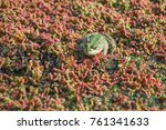 Small photo of Frog in algal scum, blurred aquatic plant in background. Color effect.