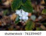 White Berries On A Bush In The...