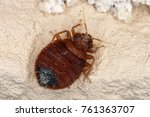 bed bug cimex lectularius... | Shutterstock . vector #761363707