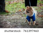 the wear  aggressive spitz dog... | Shutterstock . vector #761397463
