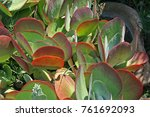 Plakkie Plants With Red And...