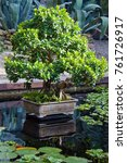 Small photo of Bonsai the Indian ficus (ficus indica) - decoration of a botanical garden