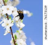 bumble bee on the brunch of... | Shutterstock . vector #76173139