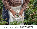 cotton harvesting. a woman... | Shutterstock . vector #761764177
