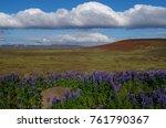 lupine field in iceland | Shutterstock . vector #761790367