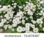 chamomile on the garden bed ... | Shutterstock . vector #761878387
