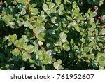 Porkbush Succulent Plant