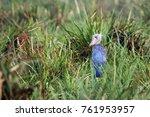 the shoebill  balaeniceps rex ... | Shutterstock . vector #761953957