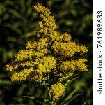 Yellow Golden Rod Flower