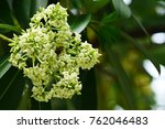 Small photo of Alstonia scholar is flowers