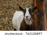 a brown goat smile to the...