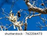 two verreaux sifakas  endemic... | Shutterstock . vector #762206473