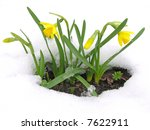 Daffodils Blooming Through The...