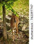 Small photo of Young Nyala Antelope
