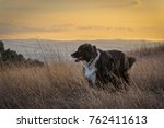 border collie dog stands in a...   Shutterstock . vector #762411613