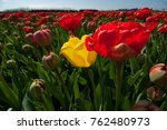 individual yellow tulip in a... | Shutterstock . vector #762480973
