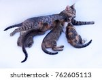 Stock photo  kittens are feeding from their mother the kittens have their backs to the camera the mother is 762605113