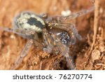 Small photo of Lace webbed spider (Amaurobius fenestralis ) on wood