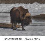 majestic ice age relic wildlife ... | Shutterstock . vector #762867547