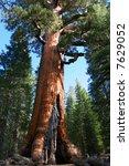Giant Sequoia In Mariposa Grov...