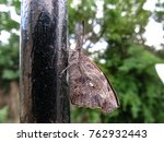 Small photo of American Snout Nose butterfly (Libytheana carinenta)