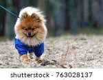the small cute spitz is running ... | Shutterstock . vector #763028137