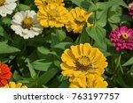 some yellow zinnias  | Shutterstock . vector #763197757