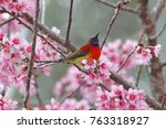 Small photo of Mrs Gould's sunbird Aethopyga gouldiae Beautiful Male Birds on the flower