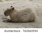 Small photo of Agouti, Dasyprocta, ist in the sand