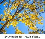 tree of ginkgo biloba with... | Shutterstock . vector #763554067
