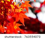 red maple leaves in autumn in... | Shutterstock . vector #763554073