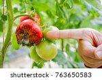 hand of farmer point to rotten...   Shutterstock . vector #763650583