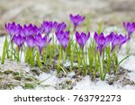 violet crocuses growing in the... | Shutterstock . vector #763792273