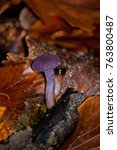 Small photo of An Amethyst Deceiver mushroom amongst autumnal fallen leaves.