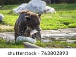 grizzly bear eating a trout... | Shutterstock . vector #763802893