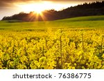 A Field Of Rapeseed Flowers...