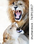 Small photo of Aggressive male lion and lioness with mouths open and teeth showing as they snarl at each other while mating