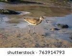 Hudsonian Curlew  Numenius...
