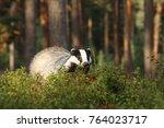 eurasian badger   meles meles   ... | Shutterstock . vector #764023717