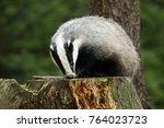 eurasian badger   meles meles   ... | Shutterstock . vector #764023723