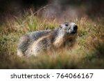 Alpine Marmot In The Grand...