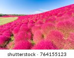kochia and cosmos bush with... | Shutterstock . vector #764155123