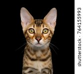 portrait of curious bengal... | Shutterstock . vector #764155993