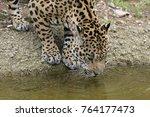 Jaguar  Panthera Onca  Drinks...