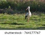 white stork in flight. white...   Shutterstock . vector #764177767