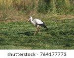 white stork in flight. white... | Shutterstock . vector #764177773