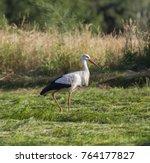 white stork in flight. white... | Shutterstock . vector #764177827