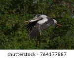 white stork in flight. white... | Shutterstock . vector #764177887