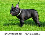 black french bulldog in grass | Shutterstock . vector #764182063