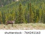 Woodland Caribou Rangifer tarandus along Alaska Highway at Stone Mountain Provincial Park, British Columbia, Canada